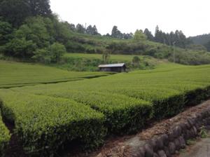 Teeplantage - (c) E. Spickschen